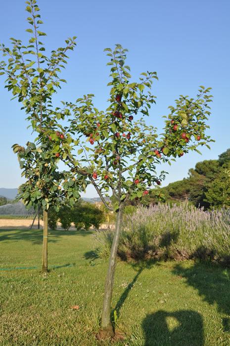 Frutta biologica azienda agricola ca 39 matra for Piante antiche da frutto
